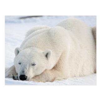 Polar Bear in winter Postcard