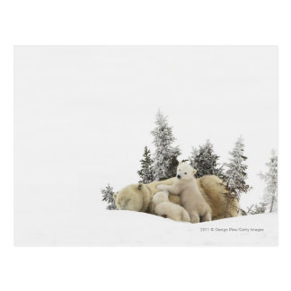 Polar Bear Mother And Her Cubs in Wapusk Park Postcard
