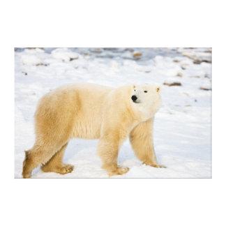 Polar Bear near Hudson Bay 2 Canvas Prints