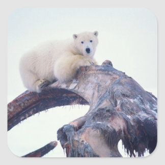 Polar bear on top of a bowhead whale jaw bone, square stickers