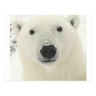 polar-bear- postcard
