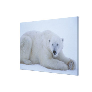 Polar Bear Resting in Snow Canvas Prints