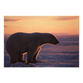 Polar bear silhouette, sunrise, pack ice of photographic print