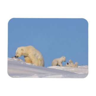 Polar bear sow feeding on grass to get her rectangular photo magnet