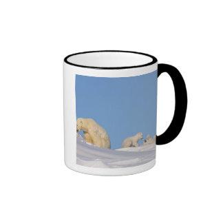 Polar bear sow feeding on grass to get her ringer mug