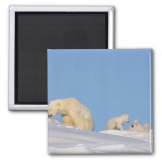 Polar bear sow feeding on grass to get her square magnet