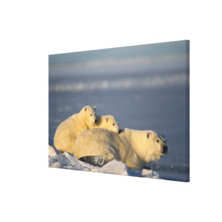 Polar bear sow lying down with spring cubs on canvas print