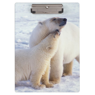 Polar bear sow with cub, pack ice of the clipboard