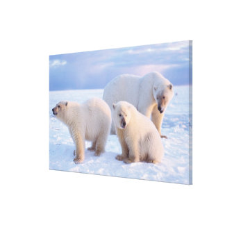 Polar bear sow with cubs on pack ice of coastal canvas prints