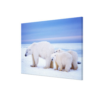 Polar bear sow with cubs on pack ice of stretched canvas prints
