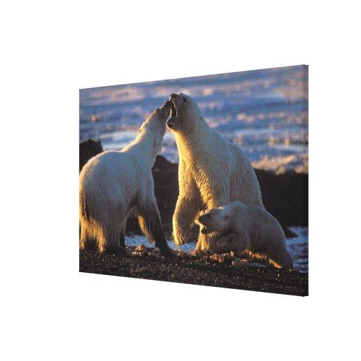 Polar bear sows with cub at side, 1002 coastal stretched canvas print