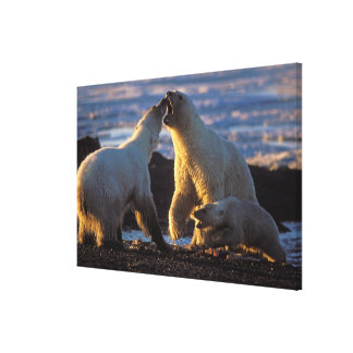 Polar bear sows with cub at side, 1002 coastal stretched canvas print