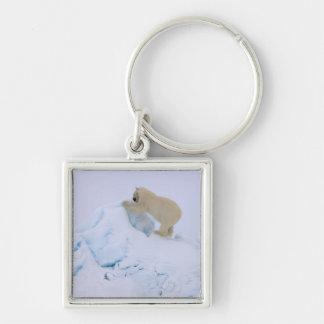 polar bear, Ursus maritimus, climbing up rough Silver-Colored Square Key Ring
