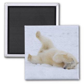 polar bear, Ursus maritimus, cub rolling 2 Square Magnet