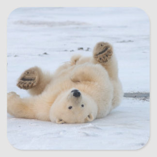 polar bear Ursus maritimus cub rolling 3 Sticker