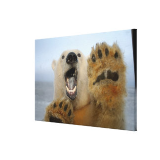 polar bear, Ursus maritimus, curiously looks in 2 Stretched Canvas Print