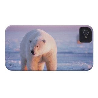 polar bear, Ursus maritimus, large boar on the iPhone 4 Case
