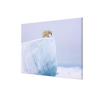 polar bear, Ursus maritimus, on a giant Stretched Canvas Print