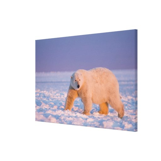 polar bear, Ursus maritimus, on ice and snow, 2 Gallery Wrapped Canvas