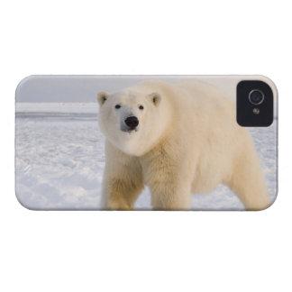 polar bear, Ursus maritimus, on ice and snow, 2 iPhone 4 Cover