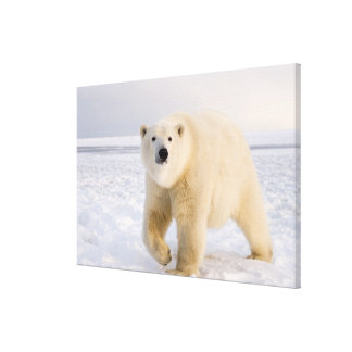 polar bear, Ursus maritimus, on ice and snow, 2 Stretched Canvas Prints