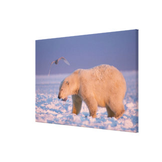 polar bear, Ursus maritimus, on ice and snow, 3 Gallery Wrapped Canvas