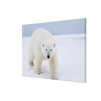 polar bear, Ursus maritimus, on ice and snow, Canvas Prints