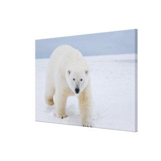 polar bear, Ursus maritimus, on ice and snow, Canvas Print