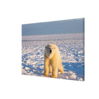 polar bear, Ursus maritimus, on ice and snow, Gallery Wrap Canvas
