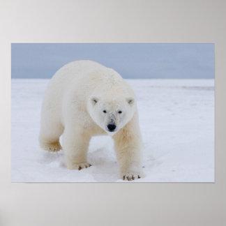polar bear, Ursus maritimus, on ice and snow, Poster