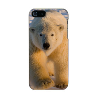 polar bear, Ursus maritimus, polar bear on ice Incipio Feather® Shine iPhone 5 Case