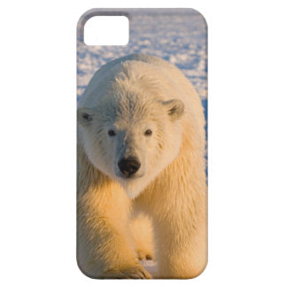 polar bear, Ursus maritimus, polar bear on ice iPhone 5 Case