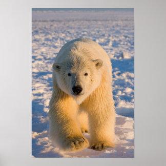 polar bear, Ursus maritimus, polar bear on ice Poster