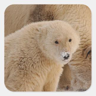 polar bear, Ursus maritimus, sow with cub Square Sticker