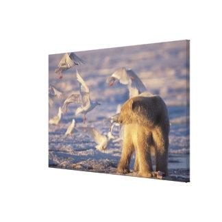polar bear, Ursus maritimus, with Stretched Canvas Print