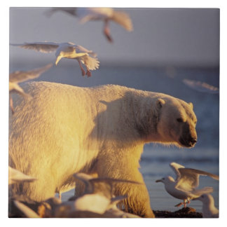 polar bear, Ursus maritimus, with Tile