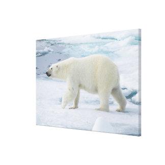 Polar bear walking, Norway Canvas Print