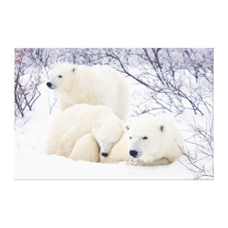 Polar Bears female and Two cubs 3 Canvas Prints