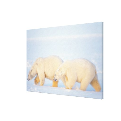 Polar bears on frozen Arctic, 1002 coastal Gallery Wrapped Canvas