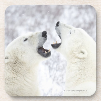 Polar Bears playing in the snow. Coaster