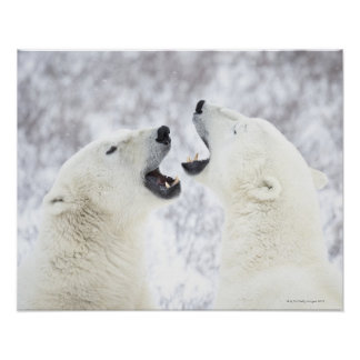 Polar Bears playing in the snow Poster
