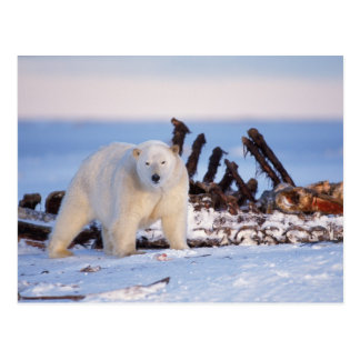Polar bears scavenging on baleen whale bones, postcard