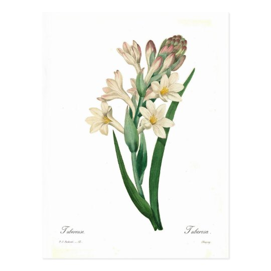 Polianthes tuberosa postcard