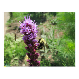pollinating insects on liatris flowers postcard