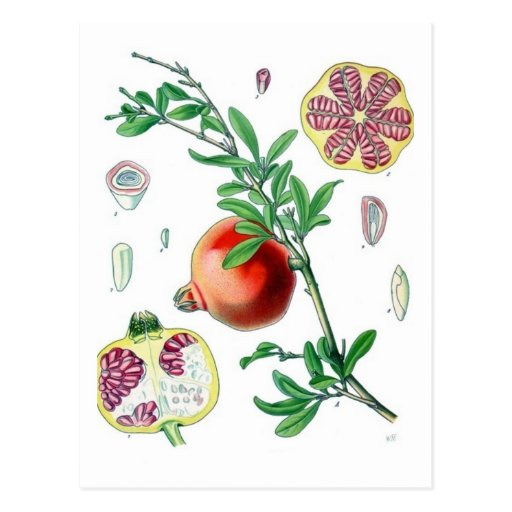 Pomegranate Post Cards