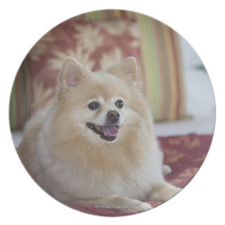 Pomeranian dog in pet friendly hotel room plate