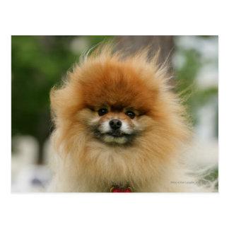 Pomeranian Headshot Looking at Camera Postcard