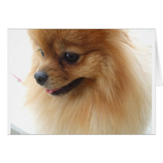 Pomeranian Lover Card