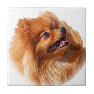 Pomeranian Spitz Tile
