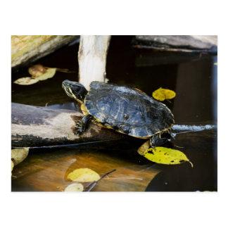Pond slider turtle in the wild postcard